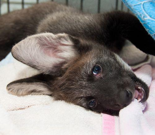 Houston-Zoo-Dora-and-Diego-Maned-Wolf-Pups-7