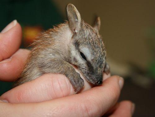 Sleepy baby Numbat at Perth Zoo 1