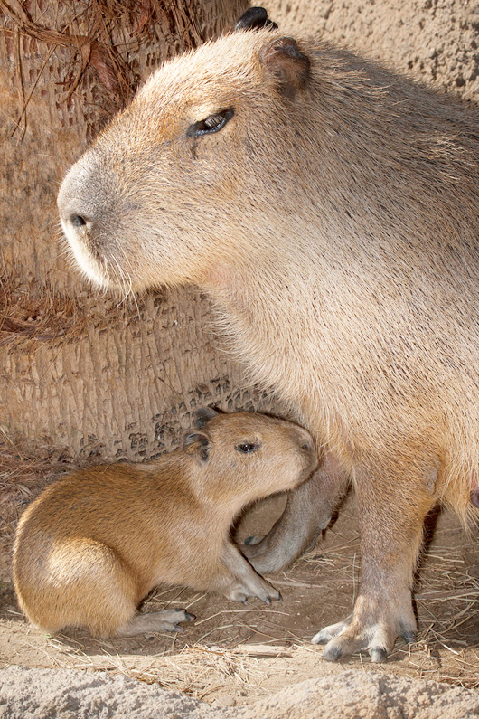 CapybaraBaby3-15-11Web