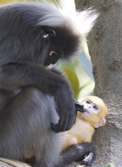 Dusky Langur at the Adelaide Zoo 2