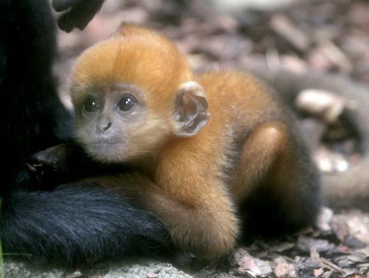 Francois Langur Taronga Zoo  4