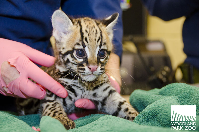 Ocelot kitten exam at the Woodland Park Zoo 1