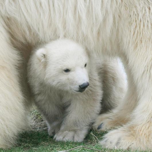 Polar Bear Blijdrop 1