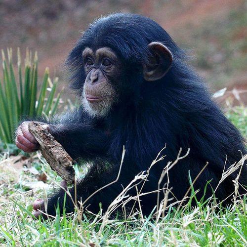 Nori-chimp-7