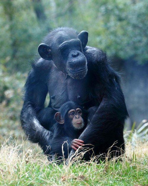 Nori-chimp-3