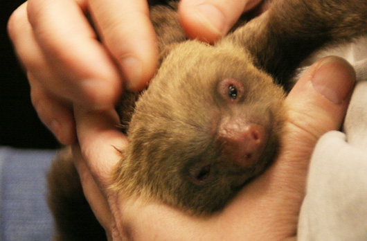 New-baby-sloth-Rosamond-Gifford-Zoo