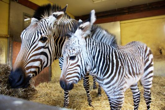 Tebogo-Blackpool-Hartmann's-Zebra-3