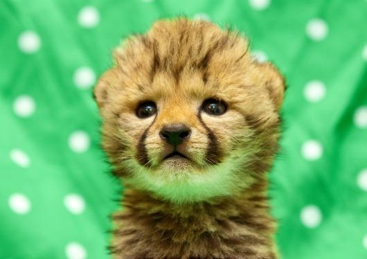 Cheetah Kitten Busch Gardens Tampa Bay 2
