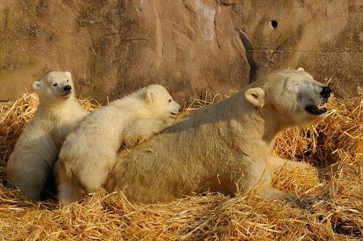 Polar-Bear-Twins-Nuremburg