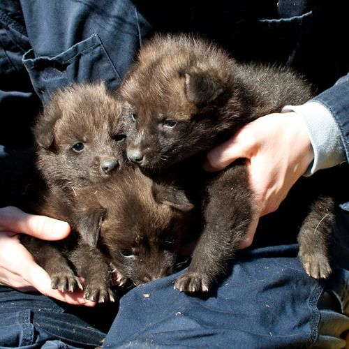 Greensboro-Maned-Wolf-Pups-2