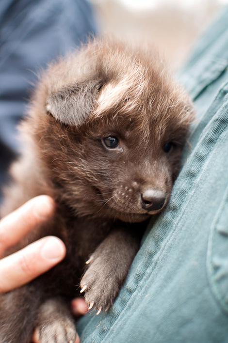 Greensboro-Maned-Wolf-Pups-3