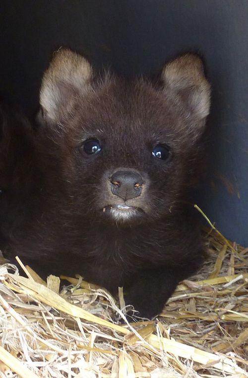 Greensboro-Maned-Wolf-Pups-6