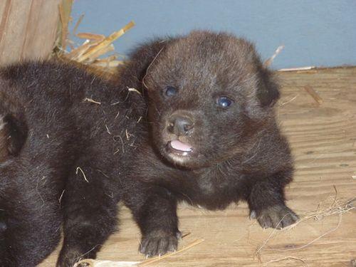 Greensboro-Maned-Wolf-Pups-5
