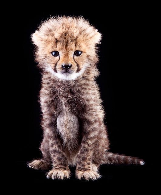 Busch-Gardens-Cheetah-at-5-Weeks2