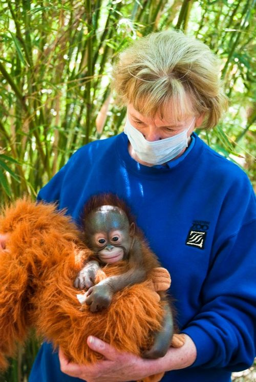 Baby Orangutan at the Houston Zoo 3b