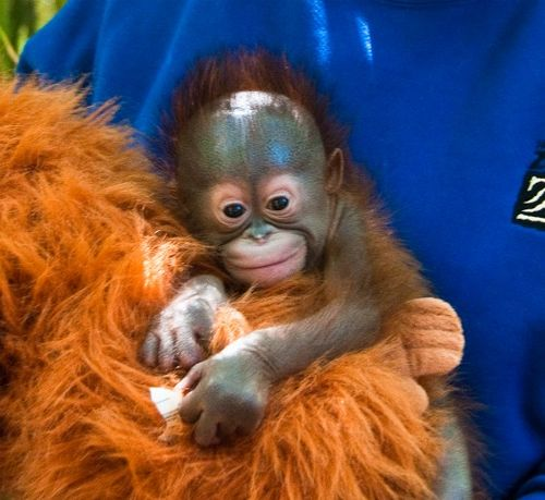 Baby Orangutan at the Houston Zoo 3c
