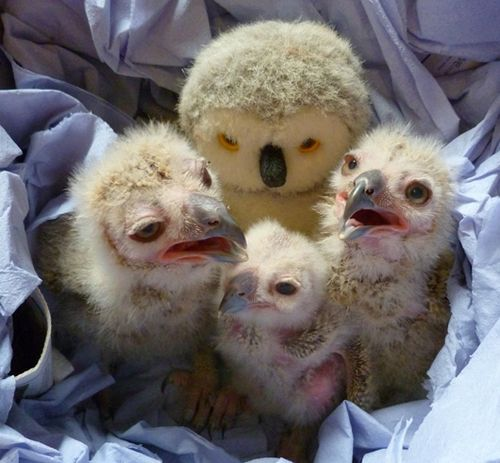 28.03.11-Two-week-old-Turkmenian-Eagle-Owlets