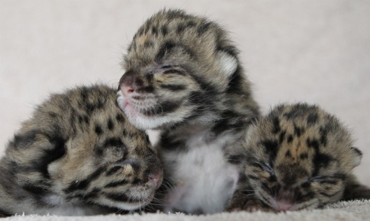 Clouded Leopard Cub Triplets at Nashville Zoo 2 - Christian Sperka