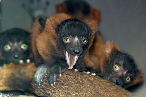 Red_ruffed_lemur_babies_8992l_dp
