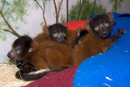 Red_ruffed_lemur_young_8542l_dp