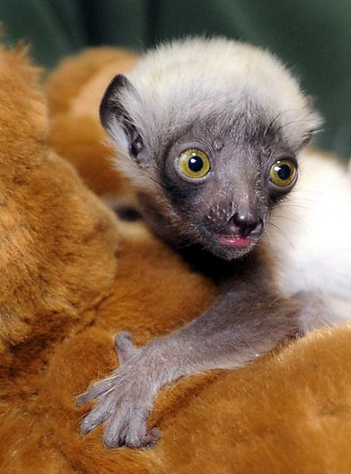 Maryland-Zoo-Lemur