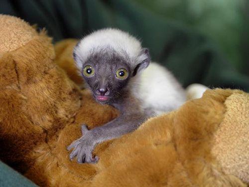 Maryland-Zoo-Lemur2