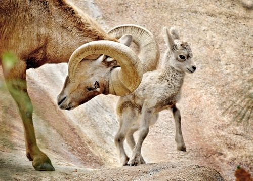 Big-Horn-Sheep-Dad-&-Baby-4-7-11-097-Tad-Motoyama-