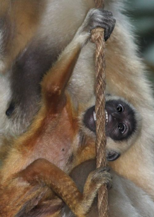 Gibbon baby showing off his chompers by Anita Yantz