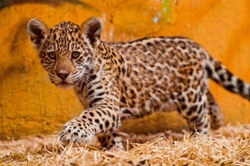 Jaguar Cub at Bratislava Zoo by Emmanuel Keller 4