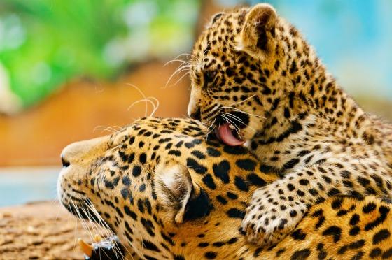 Jaguar Cub at Bratislava Zoo by Emmanuel Keller 7