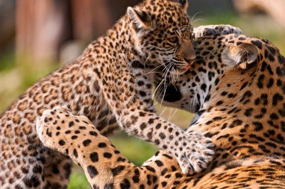 Jaguar Cub at Bratislava Zoo by Emmanuel Keller 8