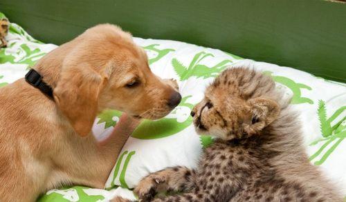 Cheetah and puppy at busch gardens 2