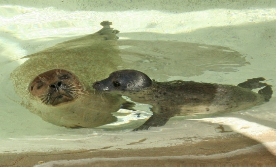 Harbor Seal Pup and Mom Swimming at Albuquerque Zoo 1
