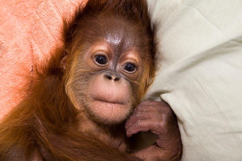 Orangutanremy