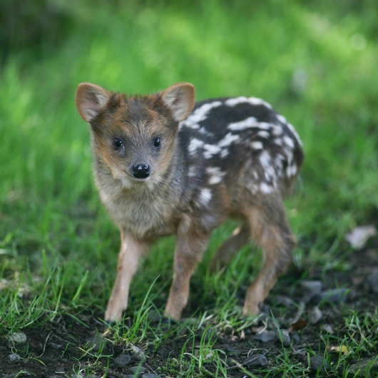 Pequeño, the Southern pudu baby at Belfast Zoo