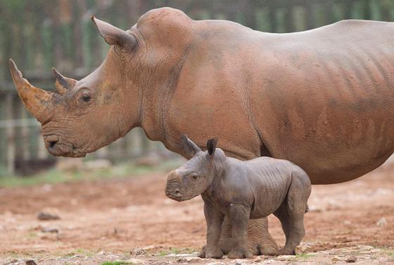 Monarto-Rhino-4