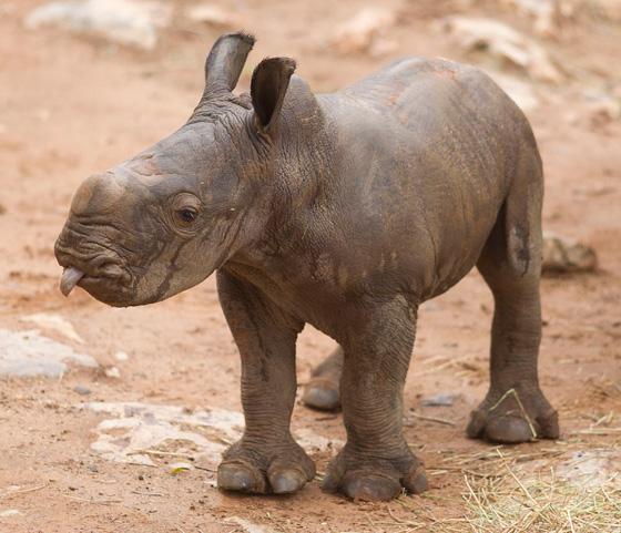 Monarto-Rhino-6