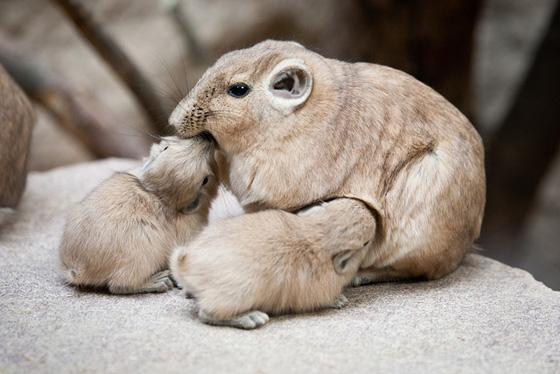 Gundi_Artis-Zoo-5