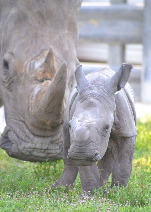 Rhino Calf Lion Country Safari 1