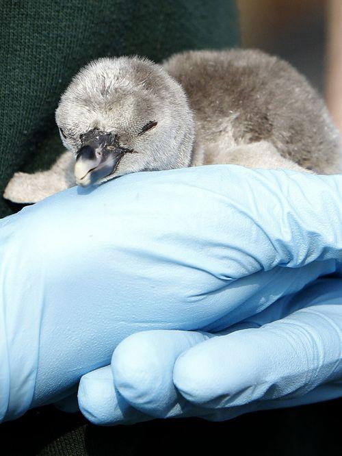 Baby-penguin-3-560