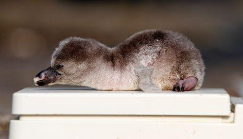 Baby-penguin.2-560
