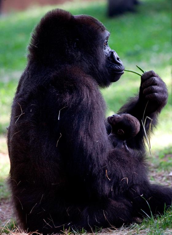 Gorilla_kudzoo_baby_051011_ZA_6154.jpg---1.jpg--full