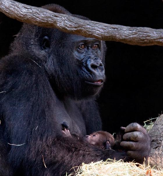 Gorilla_kudzoo_baby_051011_ZA_6190.jpg---1