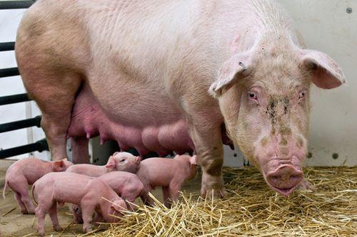 LPZoo-piglets2