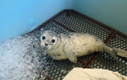 Gouda the Seal enjoys ice cubes as ASL