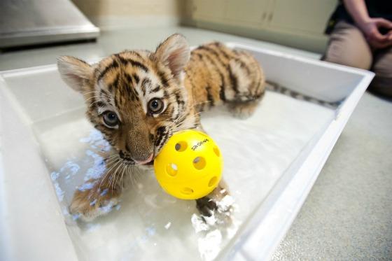 Tiger Cub Splashing at Pittsburgh Zoo 1