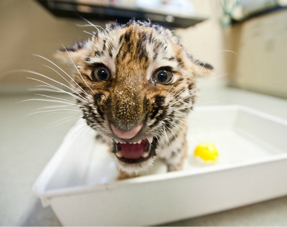 Tiger Cub Splashing at Pittsburgh Zoo 3