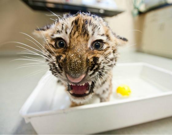 Tiger Cub Splashing at Pittsburgh Zoo 3