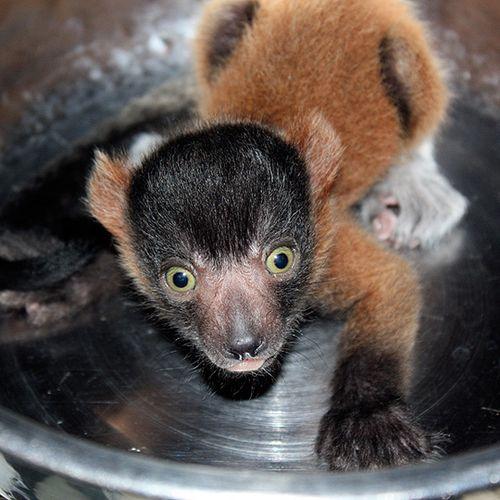 Cleveland-red-ruffed-lemurs-6