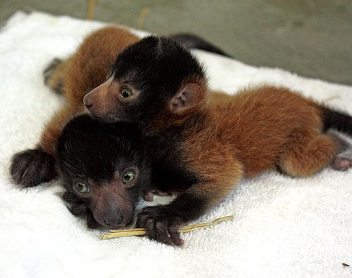 Cleveland-red-ruffed-lemurs-2